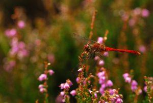 Sympétrum sanguin mâle (Sympetrum Sanguineum)<br> Plateau du Coquibus <br> Forêt de Fontainebleau