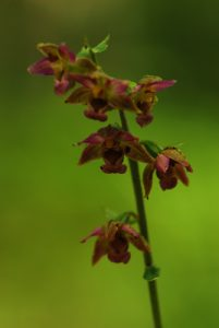 Orchidée Epipactis à larges feuilles (Epipactis Helleborine)<br> Le Coquibus<br> Forêt de Fontainebleau