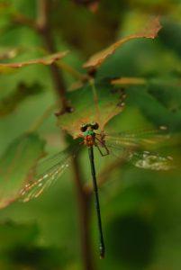 Lestes vert femelle (Lestes veridis)<br> [Clé de détermination : arrière tête vert, sans pruine, gd ptérostigma] Forêt de Fontainebleau / Le Coquibus