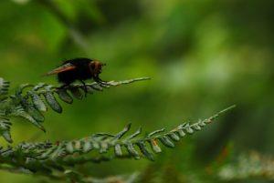 Tachinaire corpulente (Tachina grossa)<br> Forêt de Fontainebleau / Le Coquibus