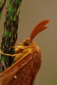 Le Bombyx du chêne ou Minime à bandes jaunes (Lasiocampa quercus)<br> Forêt de Fontainebleau / Le Coquibus