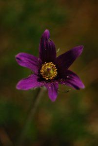 Anémone pulsatille (Anemone pulsatilla)<br> La plaine de Chamfroy<br> Forêt de Fontainebleau