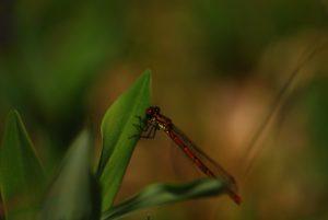 La petite Nymphe au corps de feu (Pyrrhosoma nymphula)<br> La plaine de Chamfroy<br> Forêt de Fontainebleau