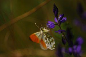 L'Aurore (Anthocharis cardamines)<br> La plaine de Chamfroy<br> Forêt de Fontainebleau