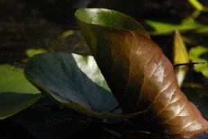 Le Nénuphar blanc (Nymphaea alba)<br> La mare à Piat<br> Forêt de Fontainebleau
