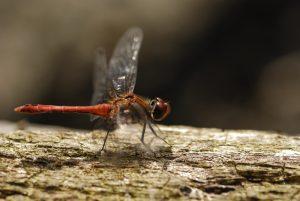 Le Sympétrum rouge sang ou Sympétrum sanguin (Sympetrum sanguineum)<br> La mare aux Evées<br> Forêt de Fontainebleau