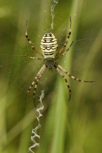 Araignée Epeire fasciée (Argiope bruennichi)<br> Les Mares des Couleuvreux<br> Forêt de Fontainebleau