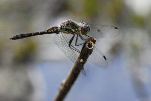 Sympétrum noir mâle (Sympetrum danae)<br> Les Mares des Couleuvreux<br> Forêt de Fontainebleau
