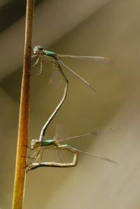 Accouplement de Lestes verdoyants (Lestes virens)<br> Les Mares des Couleuvreux<br> Forêt de Fontainebleau