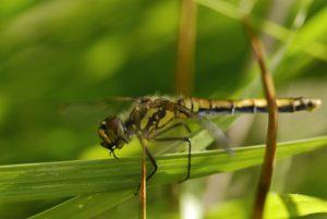 Sympétrum noir femelle (Sympetrum danae)<br> Les Mares des Couleuvreux<br> Forêt de Fontainebleau