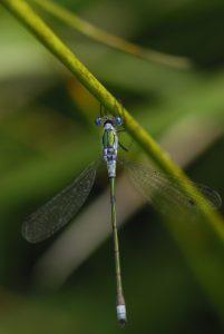Leste fiancé mâle (Lestes sponsa)<br> Les Mares des Couleuvreux<br> Forêt de Fontainebleau