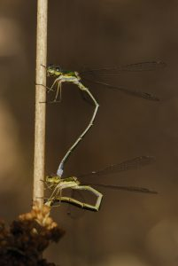 Tandem de Lestes verdoyants (Lestes virens) <br> Les Mares des Couleuvreux<br> Forêt de Fontainebleau