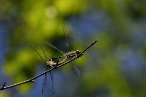 Accouplement de Sympétrum noir(Sympetrum danae)<br> La Mare aux Pigeons près des Gorges de Franchard<br> Forêt de Fontainebleau
