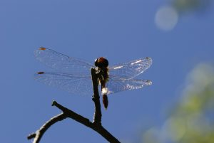 Sympétrum sanguin mâle (Sympetrum sanguineum)<br> La Mare aux Pigeons près des Gorges de Franchard<br> Forêt de Fontainebleau