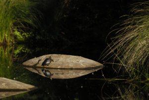Tortue de Floride (Trachemys scripta elegans) rejetée par l'homme.<br> Considérée sans impact sur la faune indigène car herbivore adulte. Les Gorges de Franchard<br> Forêt de Fontainebleau