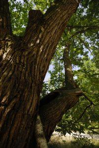 Le Châtaignier européen (Castanea sativa) de la ferme du Coquibus<br> Le plateau du Coquibus<br>Forêt de Fontainebleau