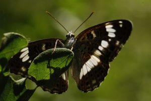 Le Petit Sylvain (Limenitis/Ladoga camilla) Le Coquibus Forêt de Fontainebleau