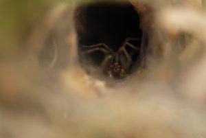Araignée de la famille des Agelena (Agelena sp.)<br> Le Coquibus<br> Forêt de Fontainebleau