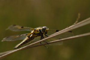 Libellule à quatre taches (libellula quadrimaculata) Mare aux sangliers au Coquibus Forêt de Fontainebleau