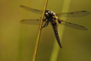 Libellule à quatre taches (libellula quadrimaculata) La mare de la ferme du Coquibus Forêt de Fontainebleau