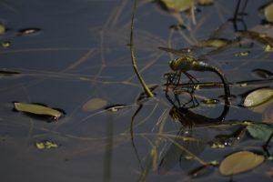 Anax empereur femelle en ponte (Anax imperator) La mare de la ferme du Coquibus Forêt de Fontainebleau