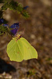 Le Citron (Gonepteryx rhamni) La Plaine de Chamfroy<br> Forêt de Fontainebleau