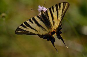 Le papillon Flambé (Iphiclides podalirius)<br> La Plaine de Chamfroy<br> Forêt domaniale de Fontainebleau