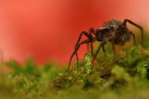 Araignée du genre Pardosa (Pardosa sp) [Caractéristiques : épines perpendiculaires aux pattes] Le Coquibus Forêt de Fontainebleau