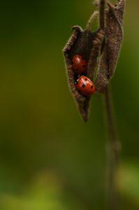 Deux coccinelles à sept points endormies (Coccinella septempunctata)<br> Le plateau du Coquibus<br> Forêt domaniale de Fontainebleau