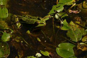 Grenouille verte (Pelophylax kl. esculentus) La Mare aux Couleuvreux Forêt de Fontainebleau