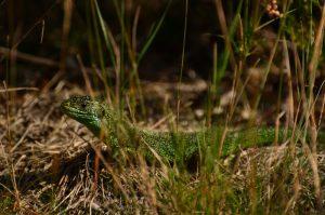Le Lézard vert (Lacerta viridis)<br> La Mare aux Couleuvreux<br> Forêt domaniale de Fontainebleau