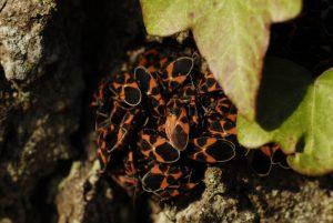 La Punaise de l'Asclépiade (Tropidothgorax leucopterus) en grappe<br> Réserve biologique de la plaine de Chanfroy<br> Forêt de Fontainebleau