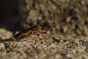 La Punaise américaine ou Punaise du Pin (Leptoglossus occidentalis)<br> Réserve biologique de la plaine de Chanfroy<br> Forêt de Fontainebleau
