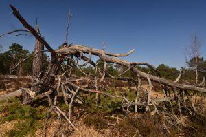 Arbres morts suite à la tempête<br> Les mares des Couleuvreux<br> Forêt de Fontainebleau
