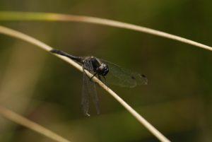 Sympétrum noir (Sympetrum danae)<br> La Mare aux Pigeons - Gorges de Franchard<br> Forêt de Fontainebleau