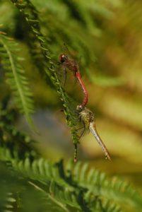 Tandem de Sympétrum sanguin (Sympetrum sanguineum) <br> La Mare aux Couleuvreux<br> Forêt de Fontainebleau