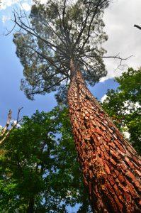 Pin remarquable -  Platière du Coquibus -  Forêt de Fontainebleau