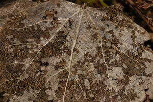 Feuille en décomposition -  La mare de la ferme du Coquibus -  Forêt de Fontainebleau
