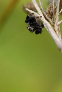 Araignée saltique (Evarcha arcuata) -  La mare de la ferme du Coquibus -  Forêt de Fontainebleau