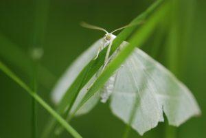 Papillon -  Platière du Coquibus -  Forêt de Fontainebleau