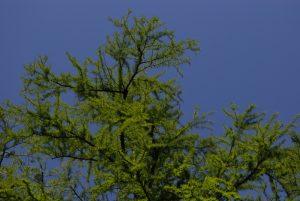 Le Cyprès chauve ou Cyprès de Louisiane (Taxodium distichum) -  La Mare aux Cerfs -  Forêt de Fontainebleau