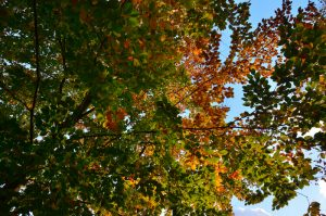 Feillles de Hêtre commun (Fagus sylvatica) -  La Forêt aux couleurs automnales près de la Mare à Bauge -  Forêt de Fontainebleau