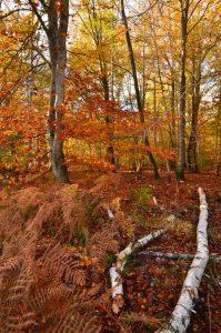 La Forêt aux couleurs automnales près de la Mare à Bauge -  Forêt de Fontainebleau
