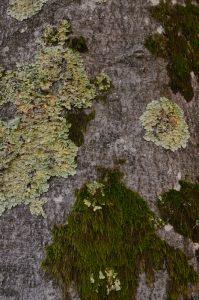 Ecorce d'Hêtre commun (Fagus sylvatica) -  La mare à Bauge en Automne -  Forêt de Fontainebleau