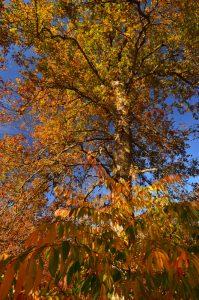 Forêt aux couleurs automnales près de la Mare aux Cerfs<br> Forêt de Fontainebleau