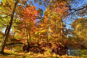 Le Cyprès chauve ou Cyprès de Louisiane (Taxodium distichum)<br>  La Mare aux Cerfs aux couleurs automnales<br>  Forêt de Fontainebleau