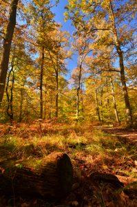 La Forêt près de la Mare aux Evées aux couleurs automnales -  Forêt de Fontainebleau