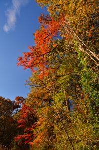 Le Cyprès chauve ou Cyprès de Louisiane (Taxodium distichum) -  La Mare aux Evées aux couleurs automnales -  Forêt de Fontainebleau