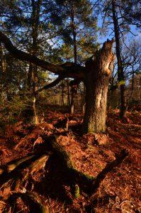Forêt près de la Mare à Dagneau<br> Forêt de Fontainebleau