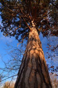 Pin Laricio (Pinus laricio)<br> La Mare à Piat<br> Forêt de Fontainebleau